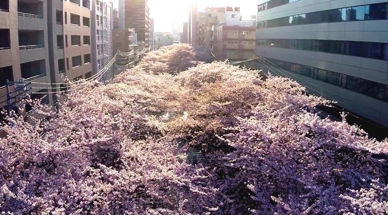 Sakura_drone_01